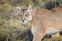 """When a wild Puma (Puma concolor) (this adult female is called """"Rupestra"""" by local guides) walks right past you and gives you this look, it literally leaves you breathless, for a moment.  Thankfully she was pursuing a herd of Guanaco and had no intent to make this a permanent condition for us."""