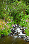 A small creek surrounded by fireweed and foliage, Chugach National Forest, Kenai Peninsula, Southcentral Alaska, Summer.