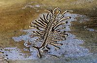 Bunter Eschenbastkäfer, Kleiner Bunter Eschenbastkäfer, Fraßbild im Holz einer Esche, Borkenkäfer, Hylesinus fraxini, Leperisinus varius