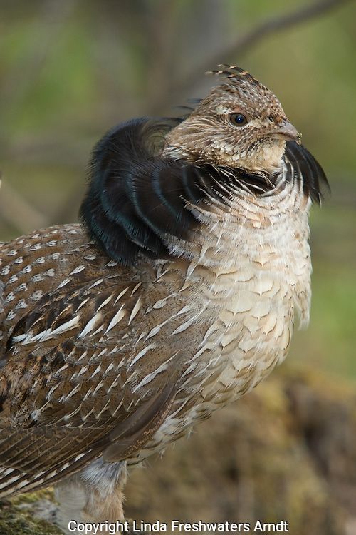 Ruffed grouse (Bonasa umbellus) in courtship display