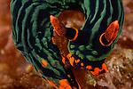 Kubaryana's Nembrotha, Nudibranch, Dorid nudibranch, Nembrotha kubaryana, Anilao, Philippines