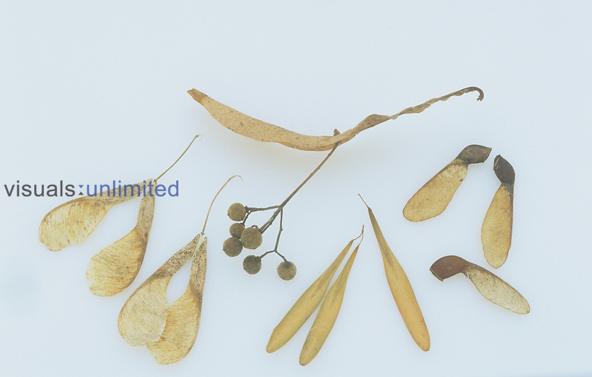A variety of winged seeds or samaras (Basswood, Maple, Ash, and Boxelder), North America.