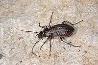 Körnerwarze, Kupferroter Laufkäfer, Carabus cancellatus, Tachypus cancellatus, ground beetle