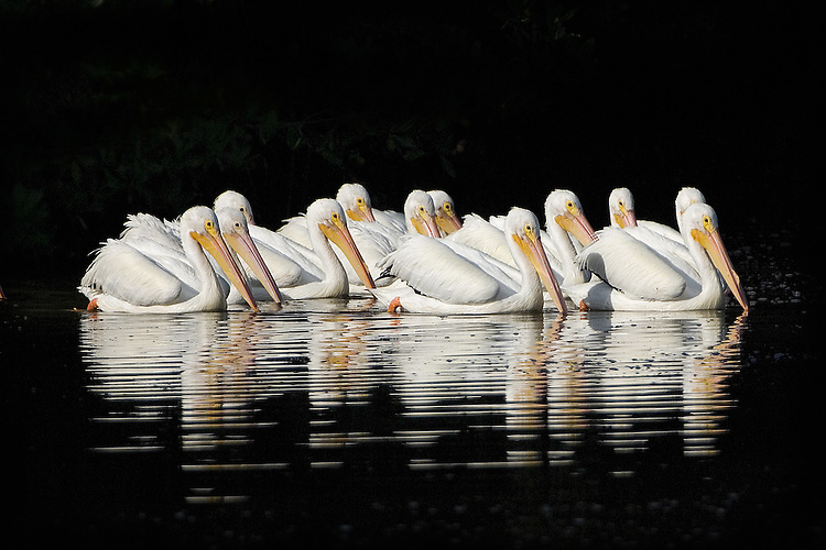 Twelve White Pelicans on a dark background, a stunning effect.