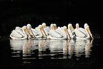 Twelve White Pelicans on a dark background, a stunning effect.