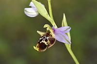 Ophrys scolopax ssp. cornuta - Gargano Peninsula, Italy