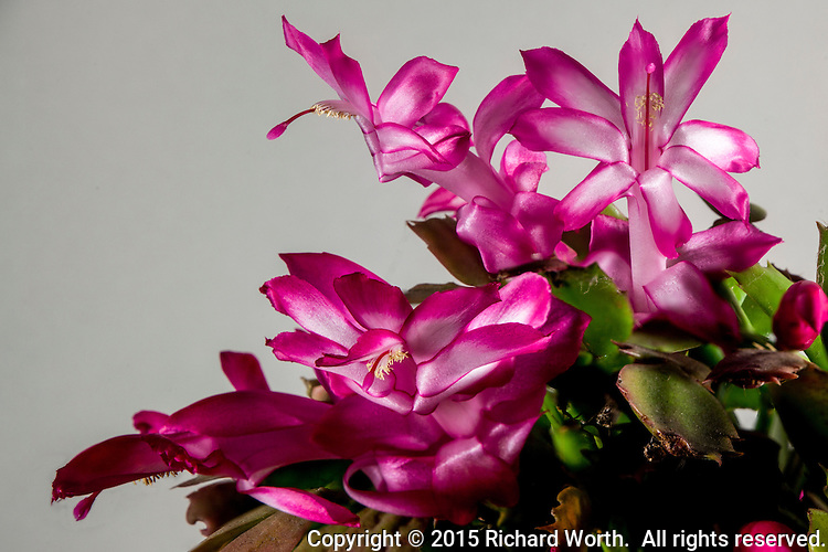 Multiple pink blossoms of a Thanksgiving cactus, Schlumbergera truncata.