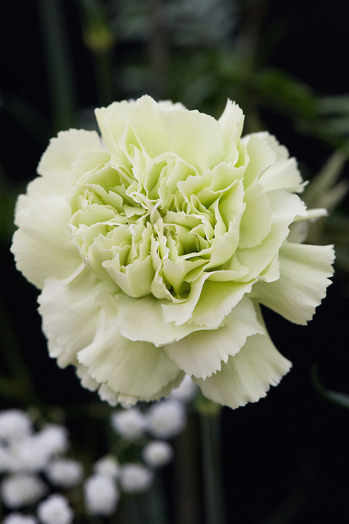 Dianthus standaard 'Lady Spring', early July. A creamy-green Carnation.
