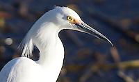 Egret - Snowy