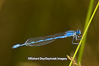 06105-00101 Familiar Bluet (Enallagma civile) damselfly male Marion Co.  IL