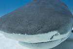 Tiger Beach, Grand Bahama Island, Bahamas; a large, female tiger shark swimming just above sandy bottom and directly into my camera lens, touching and bumping the dome port