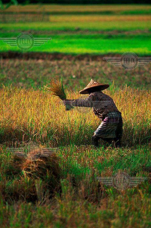 Rice farmer harvesting his field.
