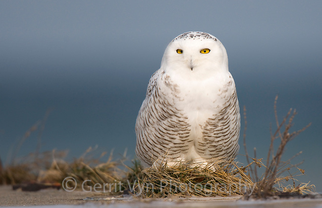 Juvenile male Snowy Owl (Bubo scandiacus) resting on a pier along the Lake Ontario Shoreline. Cayuga County, New York. December.