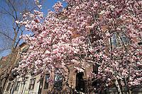 Magnolias on 347 Commonwealth Avenue, Boston, MA