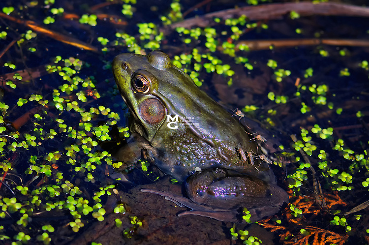 Bullfrog and Mosquitoes