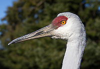A few sandhill cranes stay at the Reifel Migratory Bird Sanctuary year-round.  Because visitors often feed them birdseed, the cranes are acclimated to humans and often approach quite close.  We did NOT feed the birds to achieve these shots.