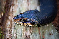 Close-up of the non-venomous banded watersnake - often confused with the venomous cottonmouth. Unfortunately many of these beautiful snakes are killed for this confusion and misidentification.