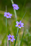 Common Blue-eyed Grass(Sisyrinchium albidum) in Lamoine, Maine, USA