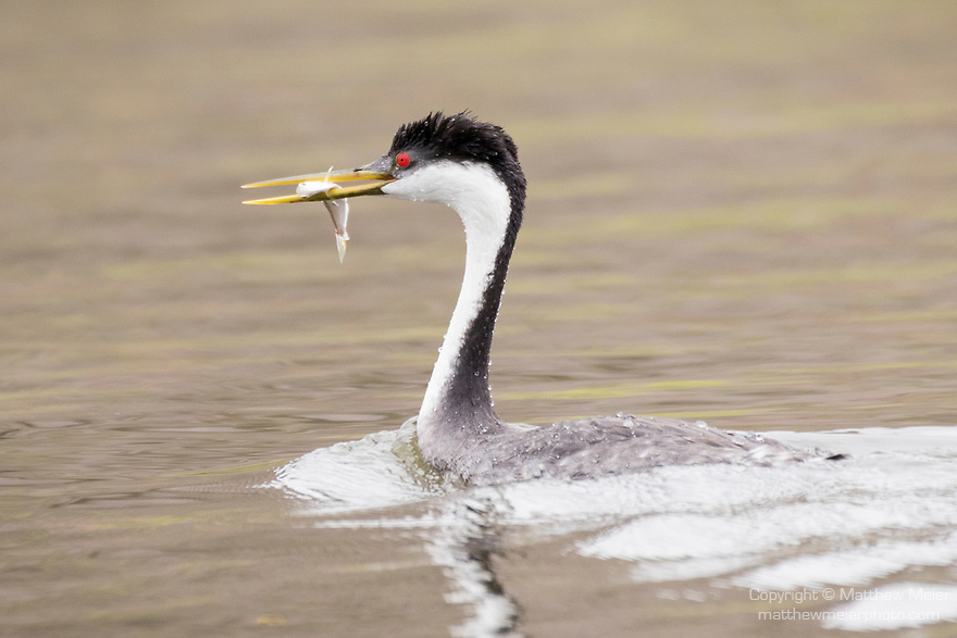 Lake Hodges, Escondido, San Diego, California; a Western Grebe (Aechmophorus occidentalis) swimming on the surface with a fish in it's bill after diving underwater to catch a meal