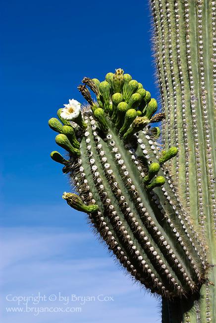 Saguaro in bloom, Saguaro National Park