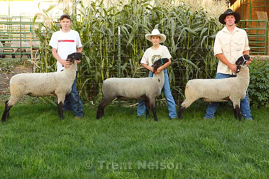 Farmington -  left to right: Trevor Bass, Bryan Maxfield, Jesse Petersen with lambs they are raising for the Junior livestock market program at the Utah State Fair. Buying an animal that has been raised by a local youth is a good way for people to buy local food and to fill their freezer with quality beef, lamb or pork at a reasonable price. Please meet Kathy at Kelly Maxfield's house in Farmington. His 10-year-old son Bryan, plus a few other kids from their 4-H group will be there feeding their animals that will be auctioned at this year's Utah State Fair.