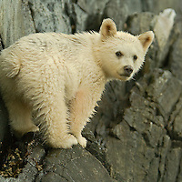 A Spirit Bear Cub looks back along the shore line