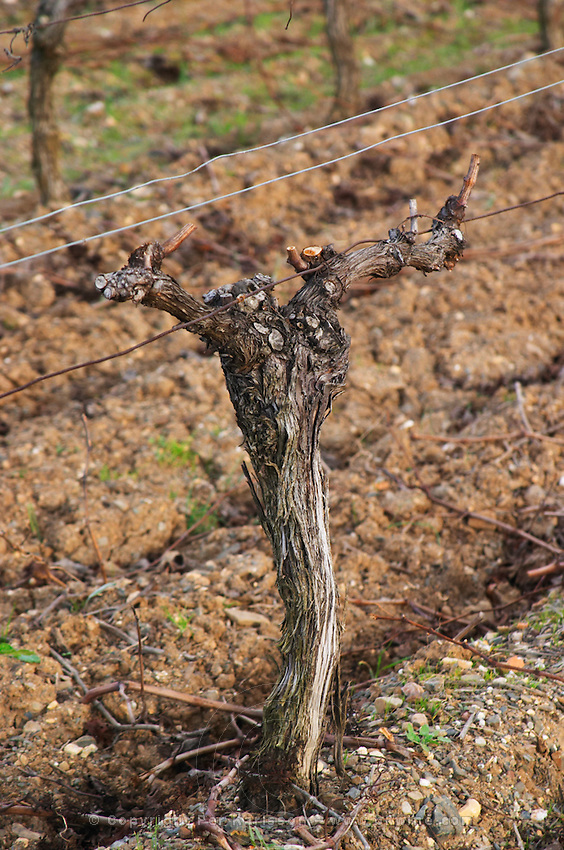 Domaine Piccinini in La Liviniere Minervois. Languedoc. Vines trained in Cordon royat pruning. Old, gnarled and twisting vine. Terroir soil. France. Europe. Vineyard.