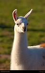 Llama Portrait, Loa, Utah