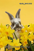 Kim, EASTER, OSTERN, PASCUA, photos,+Baby bunny among daffodils on yellow background.,++++,GBJBWP41608,#e#