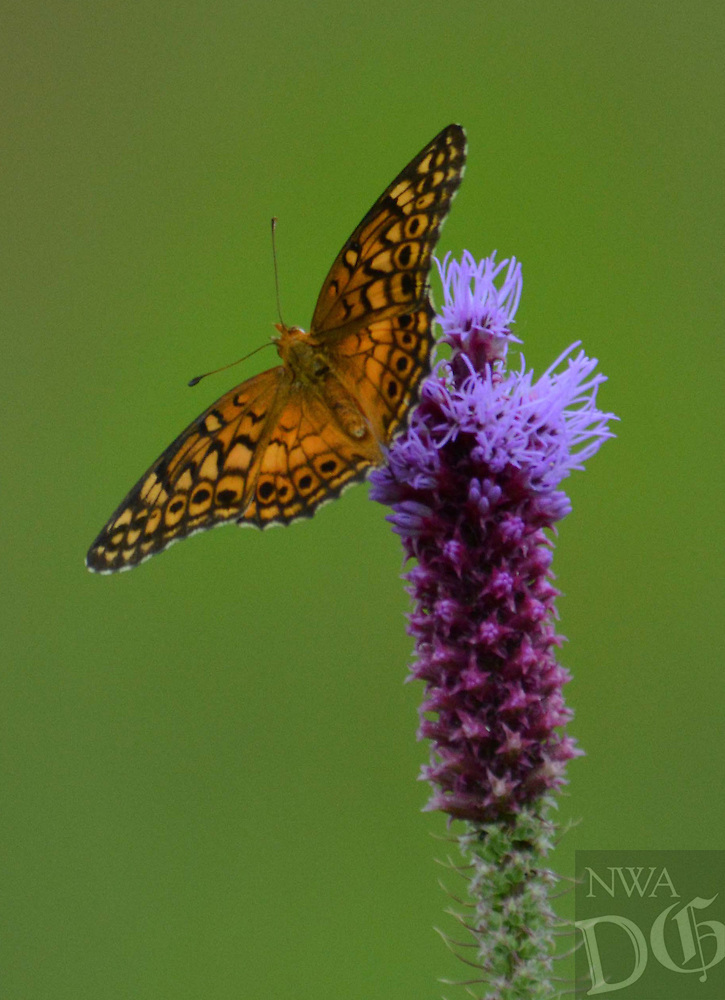 Courtesy photo/TERRY STANFILL<br /> A butterfly rests on a wildflower at Gentry Prairie. Terry Stanfill of the Decatur area took the picture July 9 during a Northwest Arkansas Audubon Society field trip.