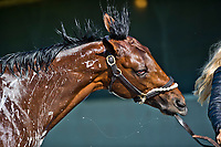 LOUISVILLE, KENTUCKY - MAY 01: Battle of Midway, owned by Fox Hill Farms, Inc. and trained by Jerry Hollendorfer, gets a bath after exercising in preparation for the Kentucky Derby  during Kentucky Derby and Oaks preparations at Churchill Downs on May 1, 2017 in Louisville, Kentucky. (Photo by Scott Serio/Eclipse Sportswire/Getty Images)