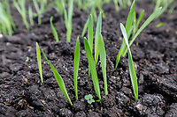 Emerging spring barley - Lincolnshire, May