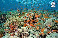 Anthias fishes and coral reef, Red Sea, Egypt (Licence this image exclusively with Getty: http://www.gettyimages.com/detail/82406595 )