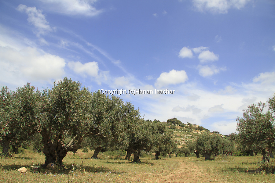 Israel, Olive trees in Ein Hod