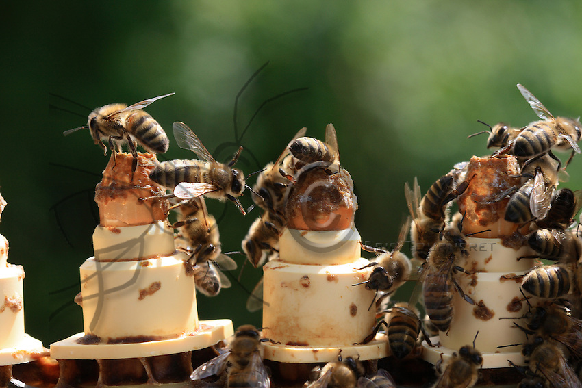 Bees on queen-rearing cells.