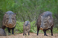 650520327 wild javelinas or collared peccaries dicolytes tajacu forage near a waterhole on santa clara ranch in starr county rio grande valley texas united states