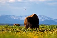 Bison, dandylions, blooming, Grand TEton National Park, Jackson, Hole, Wyoming