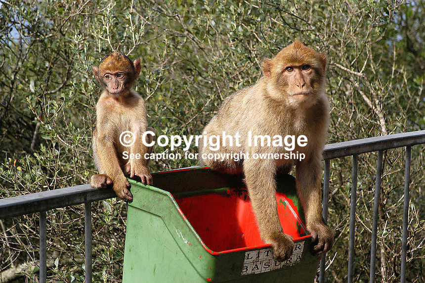 The Barbary Apes on the Rock of Gibraltar. Ref: 200211041225...Copyright Image from Victor Patterson, 54 Dorchester Park, Belfast, UK, BT9 6RJ..Tel: +44 28 9066 1296.Mob: +44 7802 353836.Voicemail +44 20 8816 7153.Skype: victorpattersonbelfast.Email: victorpatterson@mac.com.Email: victorpatterson@ireland.com (back-up)..IMPORTANT: If you wish to use this image or any other of my images please go to www.victorpatterson.com and click on the Terms & Conditions. Then contact me by email or phone with the reference number(s) of the image(s) concerned.