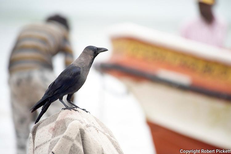 House Crow, Corvus splendens, perched on fishing boats on beach, scavaging for food, Pasikuda Beach, Sri Lanka