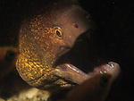 Kenting, Taiwan -- A yellowmargin moray, out to hunt.<br /> <br /> In this case, the little cardinalfish, seen in the lower right as a silhouette, got away and the moray went hungry, at least for a little while... .