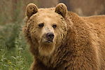 Maggie, a 5 year old, 600 pound female grizzly bear, stares into the camera at the Grizzly Park by Livingston Montana on Interstate 90