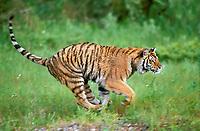 Siberian tiger, Amur tiger, Panthera tigris tigris, adult, running