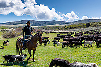 A Blackfoot Idaho rancher tending to his cows on his ranch in the mountains east of Blackfoot.<br />