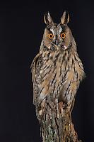 Waldohreule, Waldohr-Eule, Asio otus, long-eared owl, Le Hibou moyen-duc