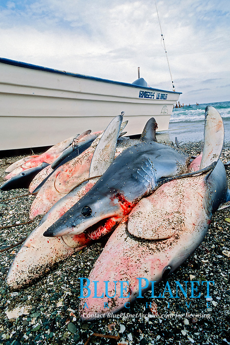 shark finning camp, blue shark, Prionace glauca, and mako shark, Isurus oxyrinchus, size class becomes smaller as population is reduced, Magdalena Bay, Baja California, Mexico, Pacific Ocean