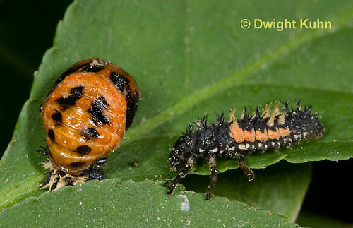 1C02-507z  Asian Ladybug Larva and Pupa, Harmonia axyridis