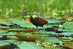 Wattled Jacana, Jacana jacana, walking on lily pads, Blanco Lake, Manu, Peru, Amazonian Jungle, South America, . .Peru....