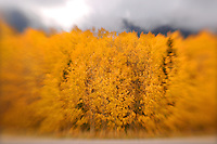 Rick Wilson Photo--9/24/07--The golden leaves of Aspen trees changing color in an Autumn scenes of mountains, aspen trees, pine trees, leaves changing color, streams, wildlife, clouds, snow and fog in and around Rocky Mountain National Park in central Colorado in late September.