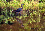 tri-colored heron in wetland