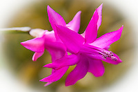 On the first day of spring a Christmas cactus, Schlumbergera bridgesii, blooms.